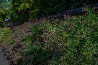 朽ちた土塀に咲く萩~迎称寺 - 鏡花水月
