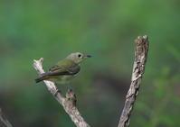 水場のキビタキ - 『彩の国ピンボケ野鳥写真館』