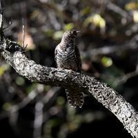 ツツドリ - 打出頑爺の鳥探し