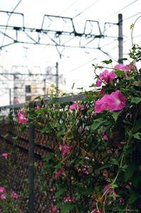 朝顔 - 心のカメラ   more tomorrow than today ...