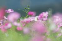 ヒカル*秋桜 3 - 気ままにお散歩