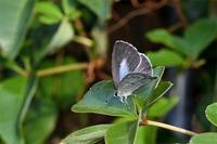 自宅にヤクルリ - 蝶と自然の物語