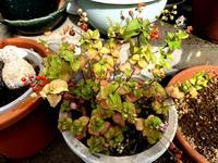 ☆鉢の植物たち・そして台風に備える☆ - ガジャのねーさんの  空をみあげて☆ Hazle cucu ☆