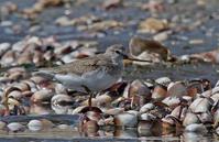 貝殻に埋もれて。 - 季節の野鳥~Wildbirds archives