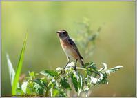 ノビタキの表情-4 - 野鳥の素顔 <野鳥と日々の出来事>