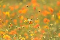 オレンジ - お花びより