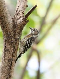 水元公園にいたコゲラ - コーヒー党の野鳥と自然パート3