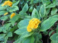 ランタナの花 - あるまじろの庭