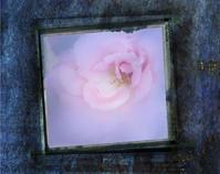 ピンクのバラ - 光 塗人 の デジタル フォト グラフィック アート (DIGITAL PHOTOGRAPHIC ARTWORKS)
