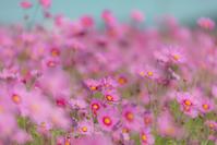 あふれる秋桜 - 気ままにお散歩