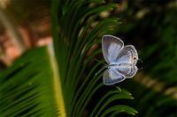 公園のクロマダラソテツシジミ - 蝶と自然の物語