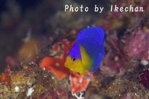 楽しい偶然 ~ソメワケヤッコ幼魚~ - 池ちゃんのマリンフォト