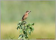 ノビタキの表情-5 - 野鳥の素顔 <野鳥と日々の出来事>