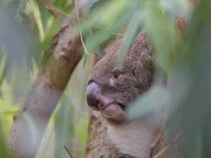 コアラが住む森、ユーカリの森 - bonsoir