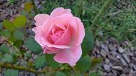 台風後のバラ - うちの庭の備忘録 green's garden