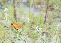 秋のヒョウモンチョウの仲間色々in2019.09~10 - ヒメオオの寄り道