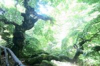 聖人を雨から守った巨木訪ねて、Faggio di San Francesco - イタリア写真草子 Fotoblog da Perugia