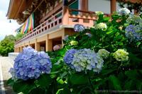 智積院の紫陽花 - ぴんぼけふぉとぶろぐ2