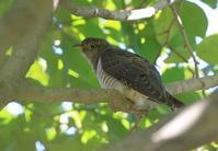 初見初撮りホトトギス - 『彩の国ピンボケ野鳥写真館』