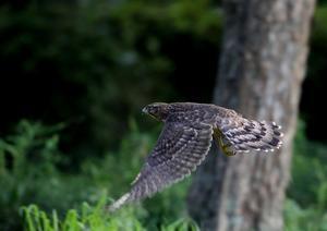 オオタカの飛び出し - T/Hの野鳥写真-Ⅲ