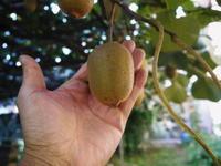 水源キウイ今年も完全無農薬で順調に育っています!令和元年の収穫及び出荷は11月中旬(予定)です!! - FLCパートナーズストア