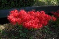 道端に咲くヒガンバナ - 平凡な日々の中で