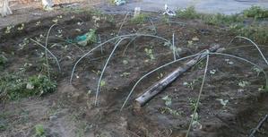 台風被害と白菜の植え付け - ブルーベリーの育て方& 栽培 ブルーベリー ノート BlueBerryNote