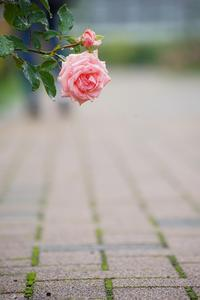 雨中の薔薇 - 柳に雪折れなし!Ⅱ