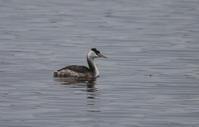 MFの沼へ冬鳥のカンムリカイツブリが飛来 - 私の鳥撮り散歩