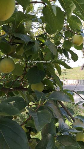 山の恵み、立派な柿! - ボローニャとシチリアのあいだで2