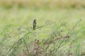 秋のホオアカ  ノビタキと仲好し - 新 鳥さんと遊ぼう