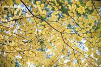 「黄葉」 - 藍の郷