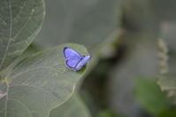 ヤクシマルリシジミ他10月14日 - 超蝶
