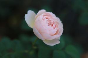 ピンクで咲いたジェントルハーマイオニー - my small garden~sugar plum~