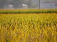 収穫を待つ稲田 - 三日おばさん