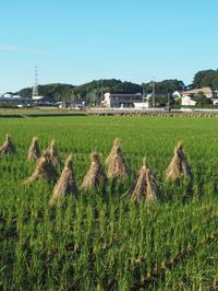 台風一過の田んぼを散歩しました。 - ご無沙汰写真館