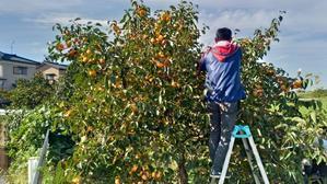 柿の季節がやってきました! - 菅名の里