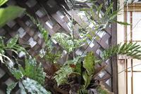 Drynaria rigidula - PlantsCade -2nd effort