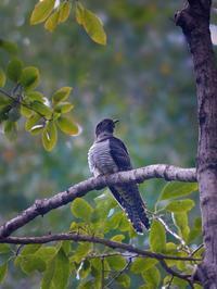 地元公園のツツドリ - トドの野鳥日記