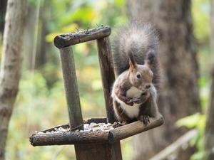 エゾリスと茸にシクラメン・・台風一過で冷え込み秋が深まります。 - 十勝・中札内村「森の中の日記」~cafe&宿カンタベリー~