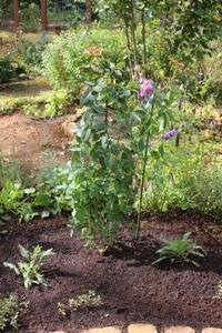 バラ植え付け完了&極悪犯公開 - ペコリの庭 *