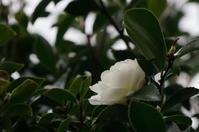 我が家の庭から(山茶花) - きょうから あしたへ その2