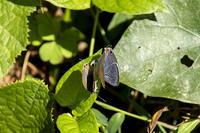 秋のチョウ~ウラナミシジミの求愛などなど - チョウ!お気に入り
