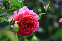 雨中の秋バラ - お散歩写真     O-edo line