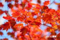 「紅葉」 - 藍の郷