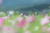 ヒカル*秋桜 6 - 気ままにお散歩