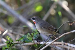 渡りの途中に葦原で羽を休めるノゴマ - T/Hの野鳥写真-Ⅲ