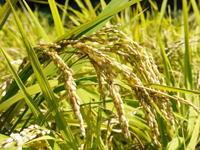 米作りの挑戦(2019)稲刈りしました!今年は手刈りではなくコンバインで! - FLCパートナーズストア