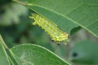 ヒロヘリアオイラガの幼虫(広縁青毒棘蛾、学名: Parasa lepida) - 写ればおっけー。コンデジで虫写真