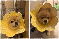 ポメラニアンのてつくん♪ - ハンドメイドのエリザベスカラー ★☆お花エリカラ☆★